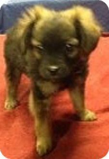 Yorkie, Yorkshire Terrier/Poodle (Miniature) Mix Puppy for adoption in Oswego, Illinois - Baby Jingles