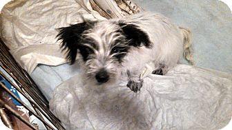 Scottie, Scottish Terrier/Maltese Mix Puppy for adoption in Jersey City, New Jersey - Rob Kardashian
