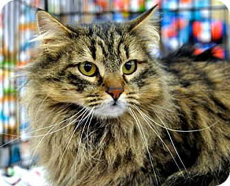 Domestic Longhair Cat for adoption in Great Falls, Montana - Tabby