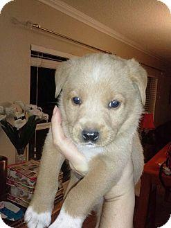 Labrador Retriever Mix Puppy for adoption in Largo, Florida - Linus