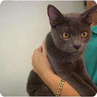 Adopt A Pet :: Smokee - Phoenix, AZ