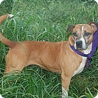 Adopt A Pet :: Molly - Albany, NY