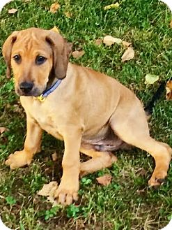 Beagle/Redtick Coonhound Mix Puppy for adoption in Snohomish, Washington - Wallace, coolest hound baby!