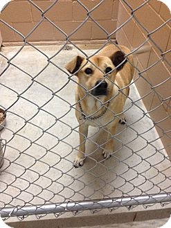Labrador Retriever Mix Dog for adoption in Bandera, Texas - 15-051