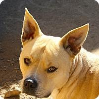 Adopt A Pet :: Scout - Sacramento, CA