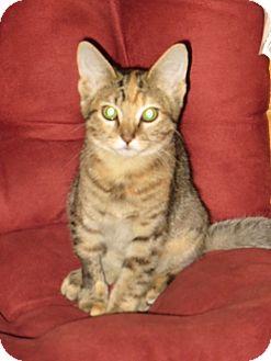Calico Cat for adoption in Las Vegas, Nevada - Katie