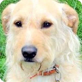 Goldendoodle Dog for adoption in Wakefield, Rhode Island - MOE(OUR GOLDENDOODLE!)
