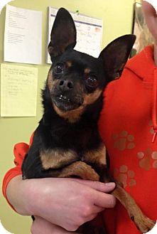 Miniature Pinscher/Chihuahua Mix Dog for adoption in Newburgh, Indiana - Taquito