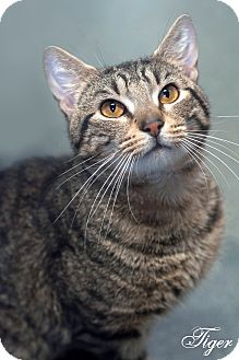 Domestic Shorthair Cat for adoption in Manahawkin, New Jersey - Tiger