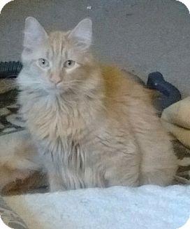 Domestic Longhair Cat for adoption in Farmington, Arkansas - Sergio