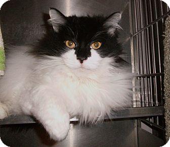 Domestic Longhair Cat for adoption in El Cajon, California - Shadow
