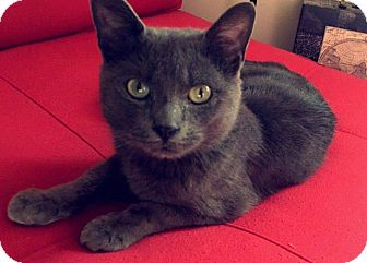 Domestic Shorthair Cat for adoption in Raritan, New Jersey - Blue