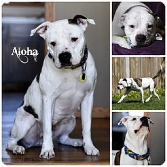 Pit Bull Terrier Dog for adoption in Sioux Falls, South Dakota - Aloha