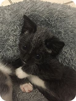 Domestic Shorthair Kitten for adoption in Tampa, Florida - Dumpling