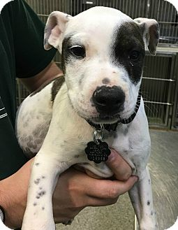 Cattle Dog Mix Puppy for adoption in Oak Park, Illinois - Quinn