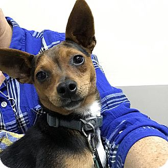 Rat Terrier Mix Dog for adoption in Tijeras, New Mexico - Carina
