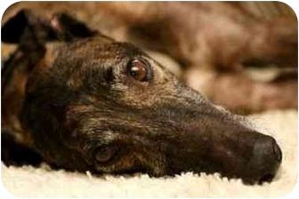 Greyhound Dog for adoption in Santa Rosa, California - Joe