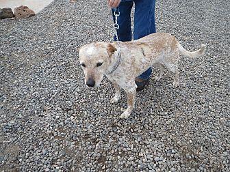 Australian Cattle Dog Mix Dog for adoption in Cedaredge, Colorado - Scout