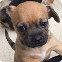 Adopt A Pet :: Chloe Campbell - Houston, TX
