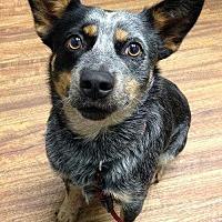 Adopt A Pet :: ReeCee - Sarasota, FL