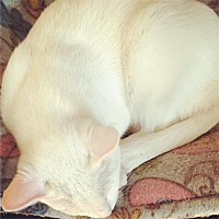 Siamese Cat for adoption in Cincinnati, Ohio - Cal: in Covedale