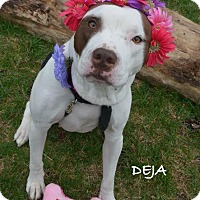 Adopt A Pet :: Deja - Independence, MO