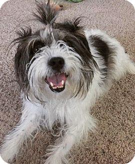 Schnauzer (Standard)/Shih Tzu Mix Dog for adoption in Manhattan, Kansas - Monique-ADOPTION PENDING