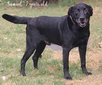 Labrador Retriever Mix Dog for adoption in Spartanburg, South Carolina - Samuel
