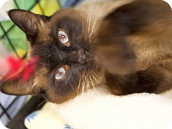 Siamese Cat for adoption in Portland, Oregon - Kuma