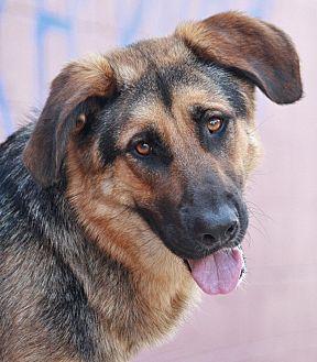 German Shepherd Dog/Labrador Retriever Mix Dog for adoption in Los Angeles, California - Sargeant Von Arnold