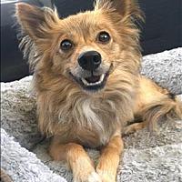 Adopt A Pet :: Brody - Encino, CA