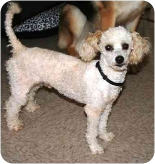 Poodle (Toy or Tea Cup) Mix Dog for adoption in McDonough, Georgia - Duncan