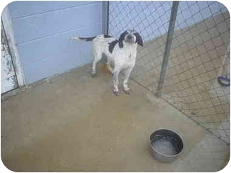 English Setter Mix Puppy for adoption in Eaton, Indiana - speckles