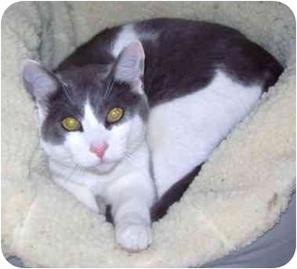Domestic Shorthair Cat for adoption in Howes Cave, New York - Bandit