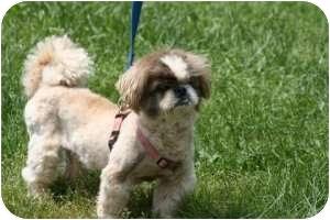 Pekingese Dog for adoption in Richmond, Virginia - Jack