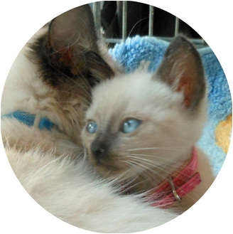 Siamese Kitten for adoption in Mandeville Canyon, California - Josie