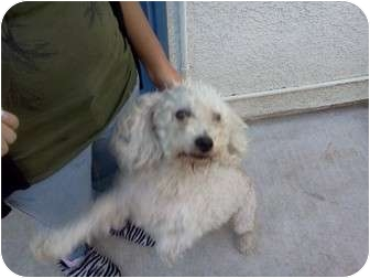 Poodle (Standard)/Terrier (Unknown Type, Small) Mix Dog for adoption in Corona, California - Heidi