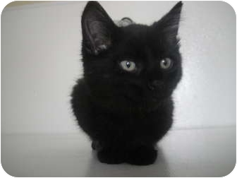 Domestic Mediumhair Kitten for adoption in Barron, Wisconsin - Midnight