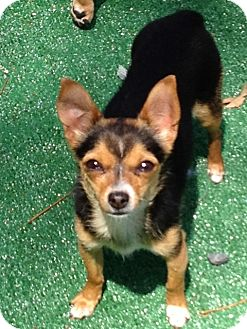 Chihuahua Mix Dog for adoption in San Marcos, California - Shelly