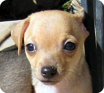 Dachshund/Terrier (Unknown Type, Small) Mix Puppy for adoption in Oakley, California - Baby Jeter