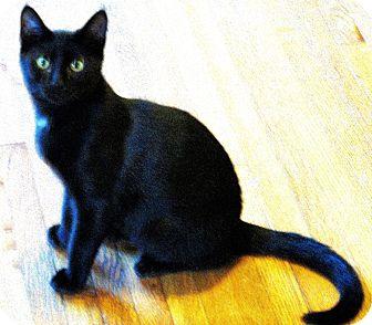 Domestic Shorthair Cat for adoption in Tillamook, Oregon - Ears