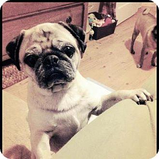 Pug Dog for adoption in Eagle, Idaho - Joey
