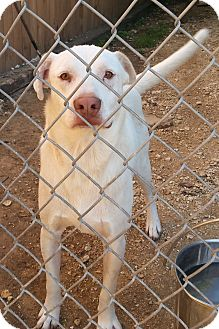 Labrador Retriever/Terrier (Unknown Type, Medium) Mix Dog for adoption in San Antonio, Texas - Ringo