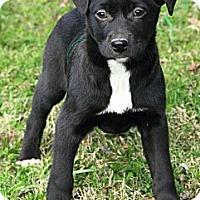 Adopt A Pet :: Abigale - Staunton, VA