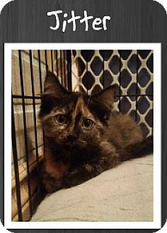 Domestic Shorthair Kitten for adoption in Grand Rapids, Michigan - Jitter