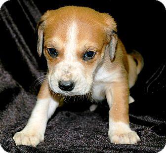 Labrador Retriever/Blue Heeler Mix Puppy for adoption in Woodlyn, Pennsylvania - Felix