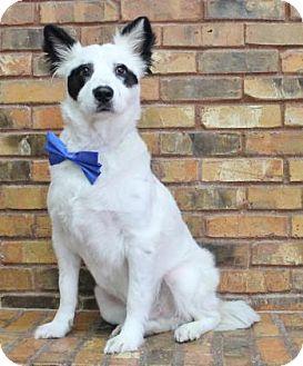 Australian Shepherd Mix Dog for adoption in Benbrook, Texas - Panda
