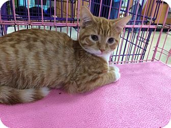 Domestic Shorthair Kitten for adoption in Wilmore, Kentucky - Pumpkin