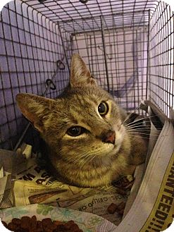 American Shorthair Cat for adoption in Brooklyn, New York - Zoey