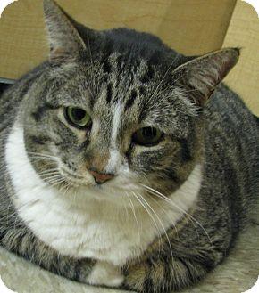 Manx Cat for adoption in Tulsa, Oklahoma - Leo